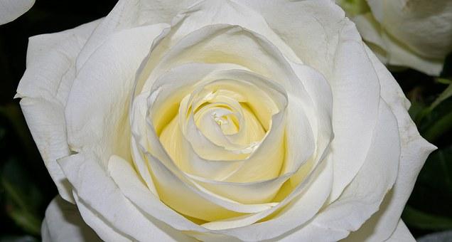 大きな白いバラ