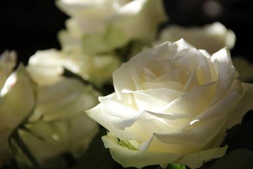 たくさんの白いバラの花