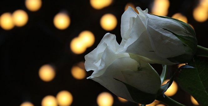 2輪の白いバラ