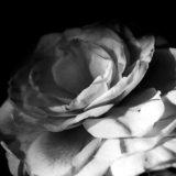 白黒の薔薇の写真