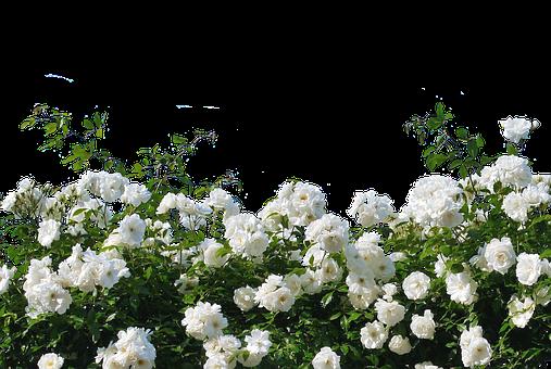 沢山の白い薔薇